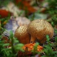 Странные грибы... :: марк