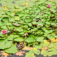 Пруд с лилиями :: Лёша