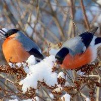 Словно отблески зари на деревьях снегири :: Ната Волга