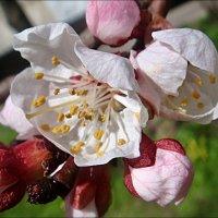 В розовом цвете :: Нина Корешкова