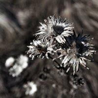Сухоцветы :: Евгения Каравашкина