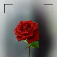 Просто роза ))) :: Дмитрий Громушкин
