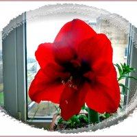 Гиппеаструм Royal red :: Вера