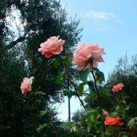 Розы, лето! :: Наталья (Nata-Cygan) Цыганова