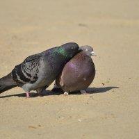 Голубки на пляже :: Елена Нор