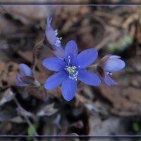Весениий цветочек :: Андрей Морозов