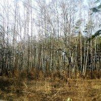 Проснулся апрельский лес! :: Ольга Кривых