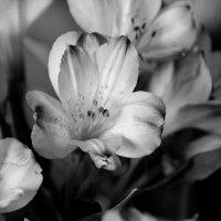 альстромерия цветок нежный :: Ангелина К