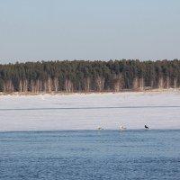 Чайки там, где лебеди... :: Олег Афанасьевич Сергеев