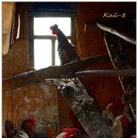 Однажды в курятнике... :: Кай-8 (Ярослав) Забелин
