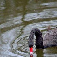 Отражение лебедя.. :: Юрий Анипов