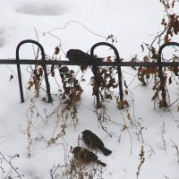Зимняя  виньетка с  воробышками.... :: Валерия  Полещикова