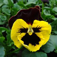 "Viola x wittrockiana "" Delta  Yellow with Red Wing  "" :: laana laadas"