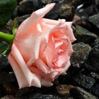 Роза на камнях :: Ирина Приходько
