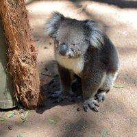 Приходится думать коалам немало :: kirm2 .