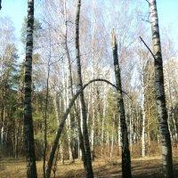 Как пойду я в лес, погуляю, белую берёзку заломаю.... :: Ольга Кривых