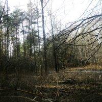 Там, где лес шумит... :: Ольга Кривых