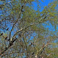 весна и голуби :: Александр Корчемный