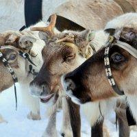 Северные олени. :: Лариса Красноперова