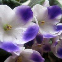 Фиалки расцветают весной. :: Елена Семигина