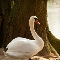 Лебедь :: Tatiana Khoroshilova