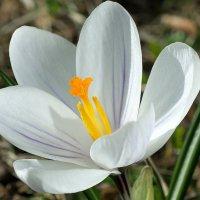 Белый крокус :: Swetlana V