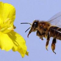 Пчела и рапс :: Semko