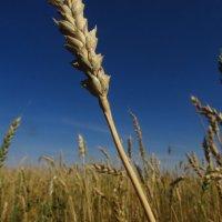 урожай :: Инга Кумпан