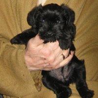 Черный щенок - радость одинокого человека. :: сергей адольфович