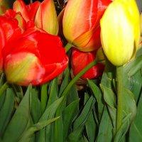 Вижу море тюльпанов, Лишь прикрою глаза... :: Galina Dzubina