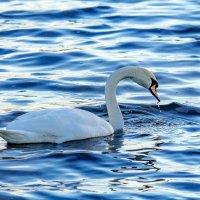 На Шумилинское озеро вернулись лебеди. :: Анатолий Клепешнёв