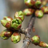 Природа в ожидании цветения :: Swetlana V