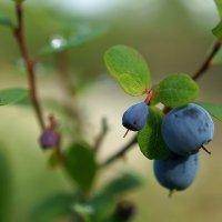Голубика болотная :: Константин Есипов
