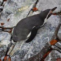 Пингвинёнок :: Ольга