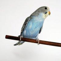 Птенец волнистого попугая :: Лариса Вишневская