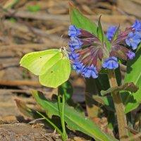 Бабочка на медунице :: Александр Смирнов