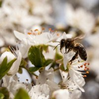 пчелка :: Iryna K