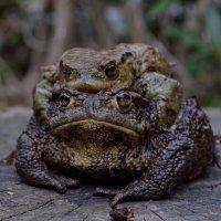 из жизни жаб :: Olena