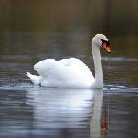 Белый лебедь на пруду...... :: Светлана Ивановна Медведева