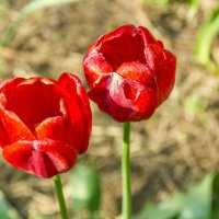 Тюльпаны :: Oleg Sharafutdinov