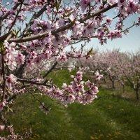 Яблоневый сад :: Tатьяна Ольшевская
