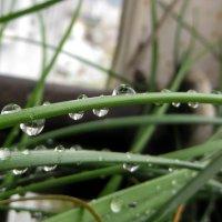 Капли дождя :: Наталья Джикидзе (Берёзина)