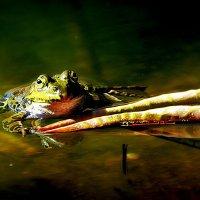 фламандская лягушка :: Alexander Andronik