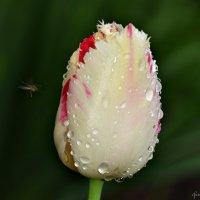 Цветок и капли :: Николай Ярёменко