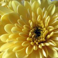 Хризантемы :: Агриппина