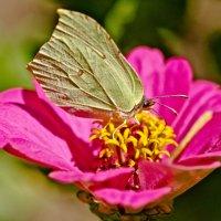 Бабочка-лимонница. :: Виктор Евстратов