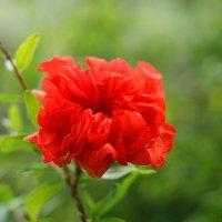 Цветок граната :: nika555nika Ирина