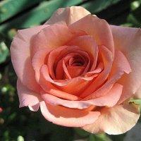 """Роза """" Mondiala """" :: laana laadas"""