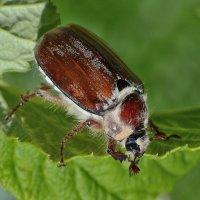 Жил на свете старый жук :: Viacheslav