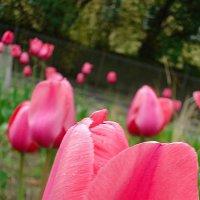 Но сердцу милы мне тюльпаны… :: Galina Dzubina